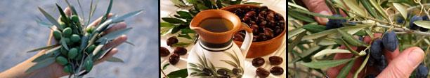 planta-olivo