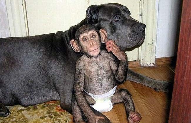 chimpance-mastin