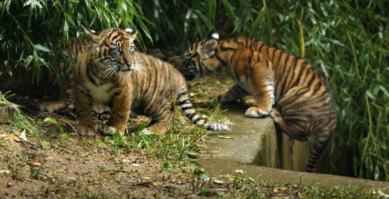 tigresitos-zoo