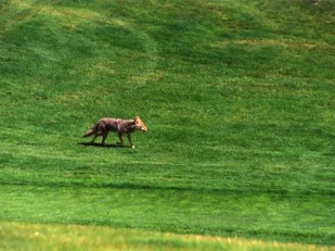 coyote-golf