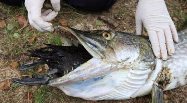 Pez murió ahogado al intentar comer un pato - Fotos
