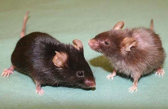 Ratonas mutilan los genitales a los ratones