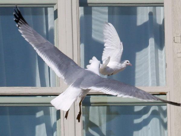 Insólito: Gaviota agredió a la paloma blanca de Benedicto