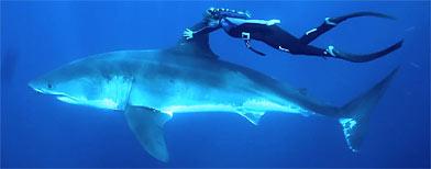Video: Se anima y nada junto a un gran tiburón blanco