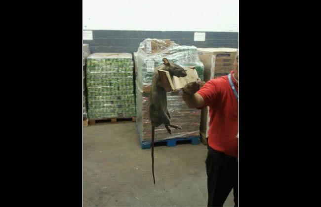 Fotos increíbles: ratas gigantes en un supermercado