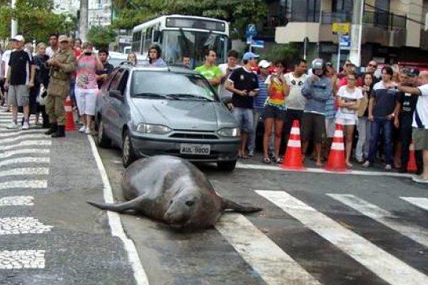 Video: Elefante marino sorprende por las calles de Brasil