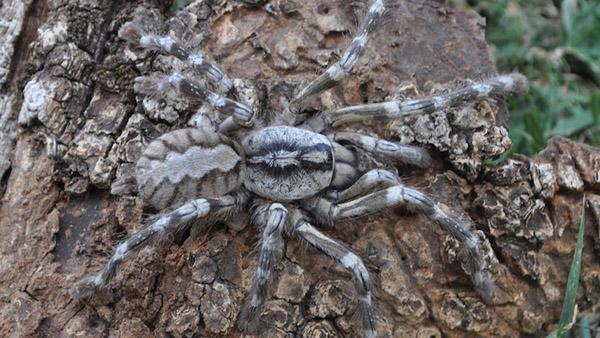 Hallan una nueva araña gigante en Sri Lanka - Fotos y video