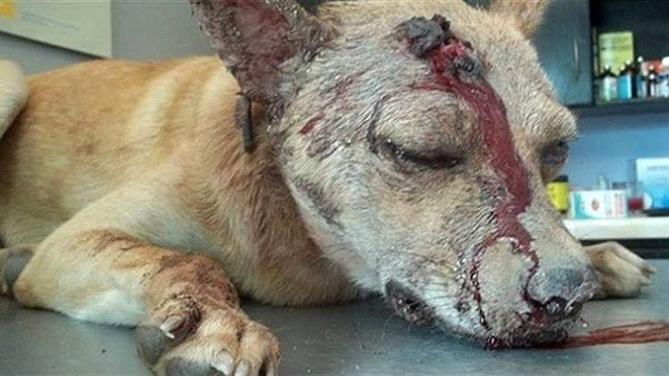 Secuestró, golpeó, apuñaló y abandonó al perro de su ex pareja - Foto